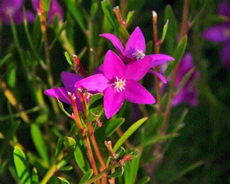 gardensonline crowea exalata