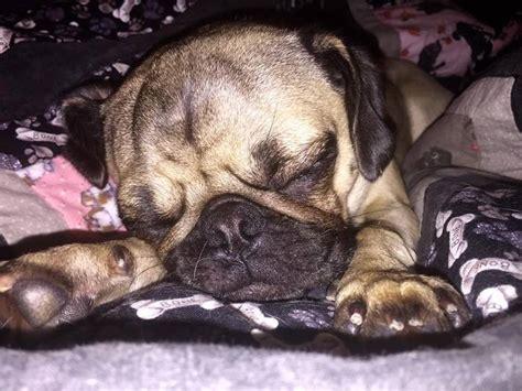 orlando pug rescue meet the newest member of your family at subaru south orlando s pet adoption event