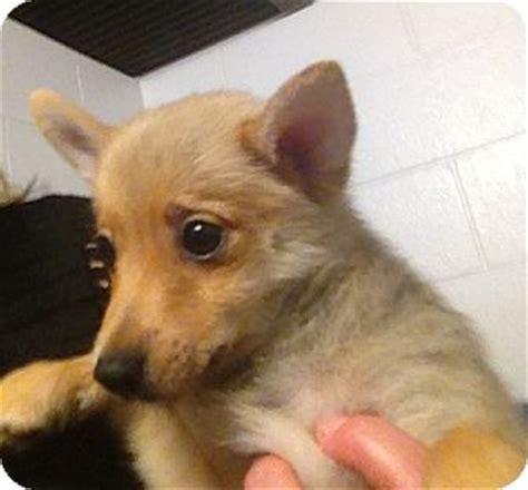 pomeranian puppies richmond va adopted puppy richmond va pomeranian chihuahua mix