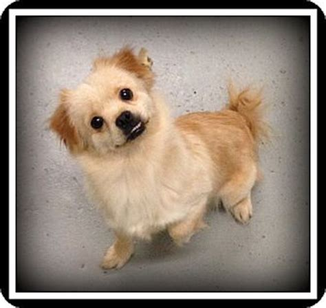 pomeranian names indian shelby adopted indian trail nc pekingese pomeranian mix