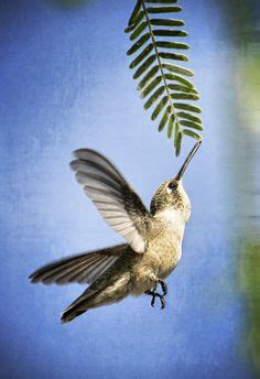 1000 images about beija flor hummingbird on pinterest