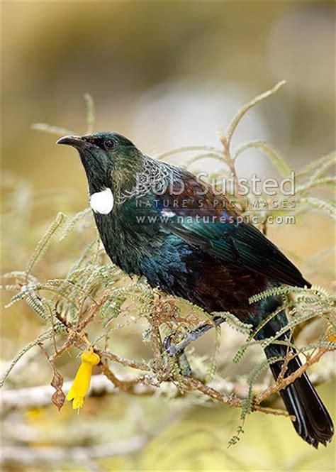 tui bird feeding  nectar  kowhai flowers nz natives