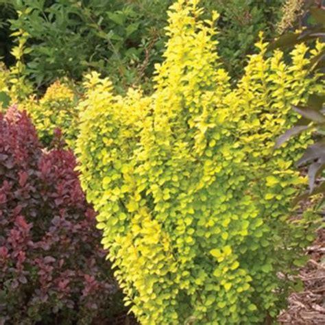 sunjoy gold pillar barberry berberis thunbergii
