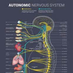 best 25 autonomic nervous system ideas on