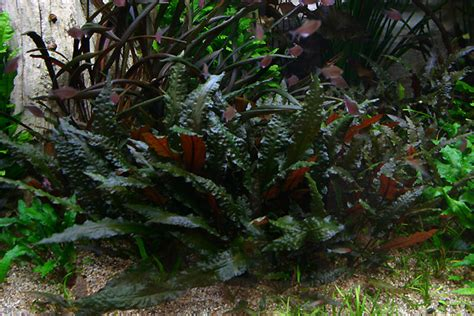cryptocoryne aquascape cryptocoryne wendtii mi oya aquarium fish tank