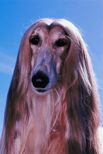 dogs with hair living with a haired care the daily puppy