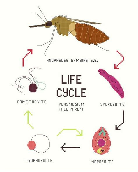 yellow fever pattern 1000 ideas about malaria life cycle on pinterest