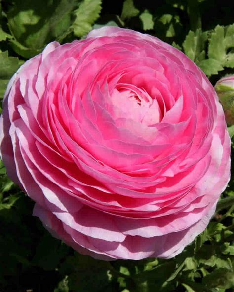 ranunculus pink double pink buttercup for sale buy