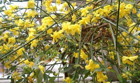 gelsomino giallo in vaso gelsomino giallo jasminum humile revolutum