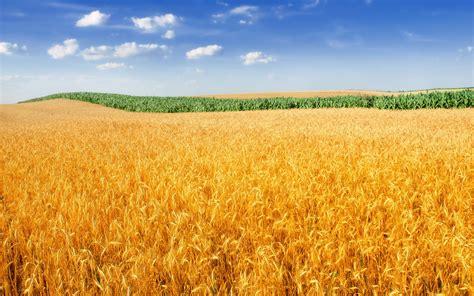 wallpaper wheat field landscape crop farm  nature