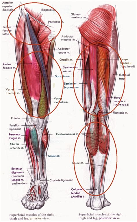 diagram of groin inner thigh muscles anatomy human anatomy diagram