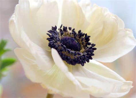 anemone fiore significato fiori per matrimonio domande e risposte fiori