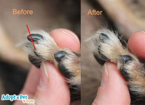 how to cut your s nails how to cut yorkies nails search yorkies yorkies
