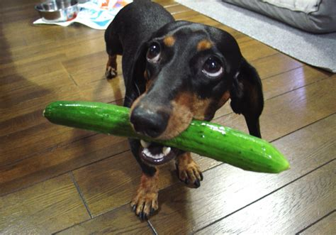 dogs eat cucumbers can dogs eat cucumbers side effects health benefits tips