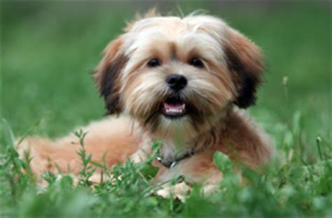 how can you leave a shih tzu alone 24 pictures of shih tzu yorkie mix a k a shorkie and breed info animalso