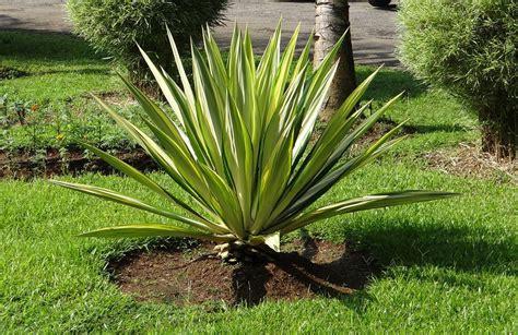 piante da cortile agave americana piante grasse da esterno