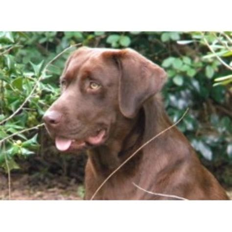 lab puppies for sale in wv chocolate lab puppies for sale in west virginia breeds picture