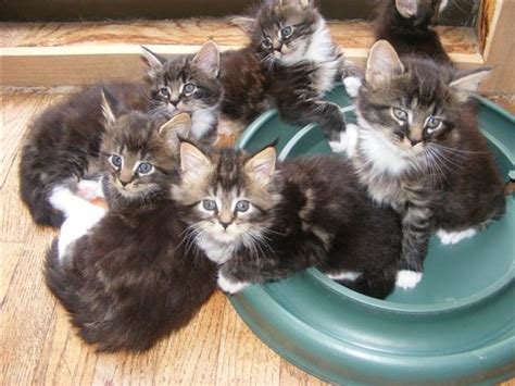 breeders in maine maine coon kittens maine coon cat breeders in florida usa animals
