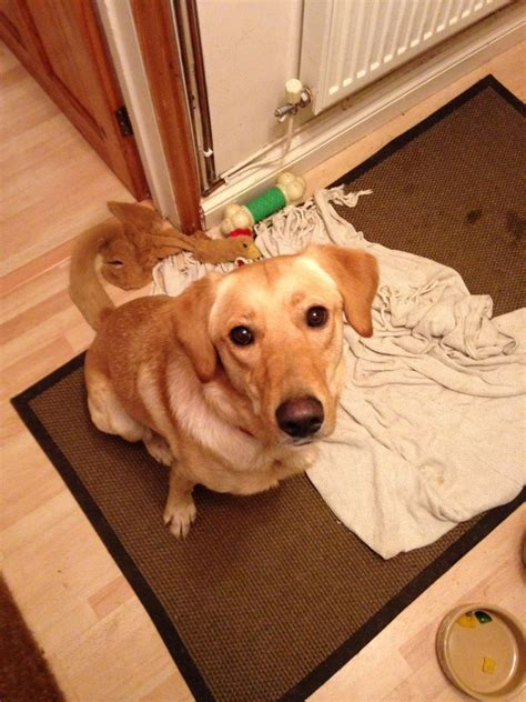 setter golden retriever mix for sell golden retriever and setter mix in hamilton ohio for sale breeds picture