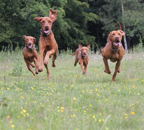best running dogs the best dogs for distance runners runnerstribe