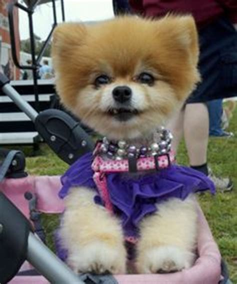 southern california pomeranian rescue 1000 images about teddi and furrends on pomeranians pomeranian rescue