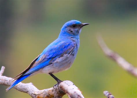 the nerdy naturalist mountain bluebird