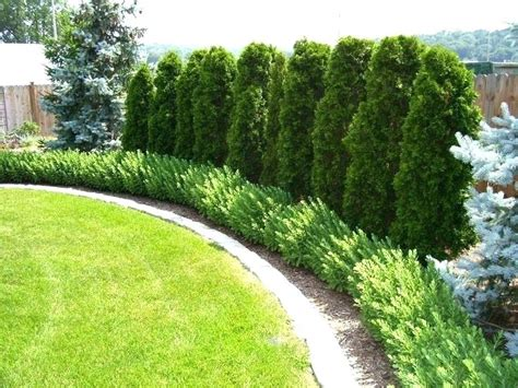 trees for privacy in backyard trees for privacy in backyard full image for best privacy