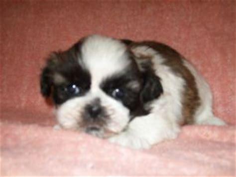shih tzu breeders in iowa shih tzu puppies in iowa