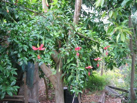 flower lantern hibiscus shrub jpg