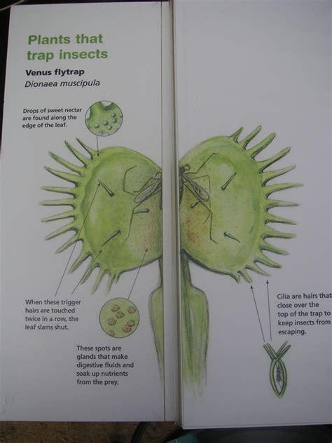 Venus fly trap anatomy venus fly trap anatomy loading ccuart Choice Image