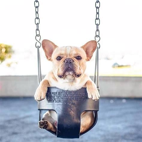french bulldog swing french bulldog in a swing pictures photos and images for