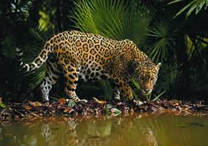 How Many Jaguars Are Left In The World Utopia Guanacaste Costa Rica Magazine And Travel Guide