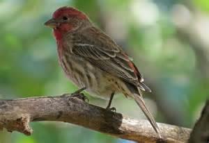 handsome house finch backyard bird