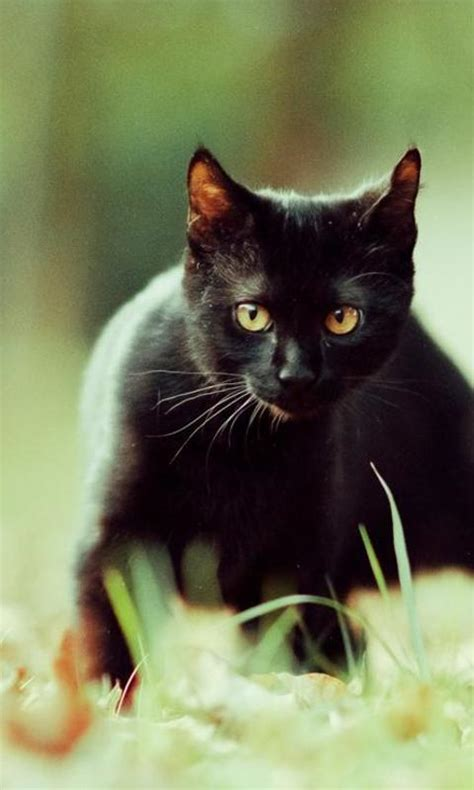 wallpaper cat for android black cats wallpapers android apps on google play