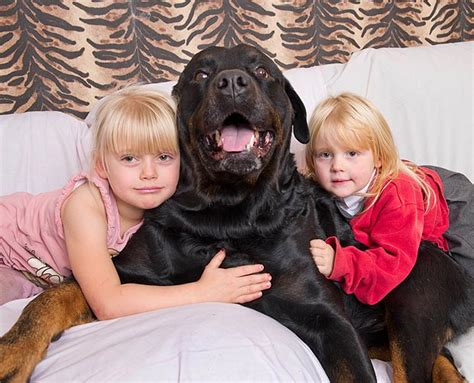 rottweiler with children 19 ways a rottweiler ruins you for
