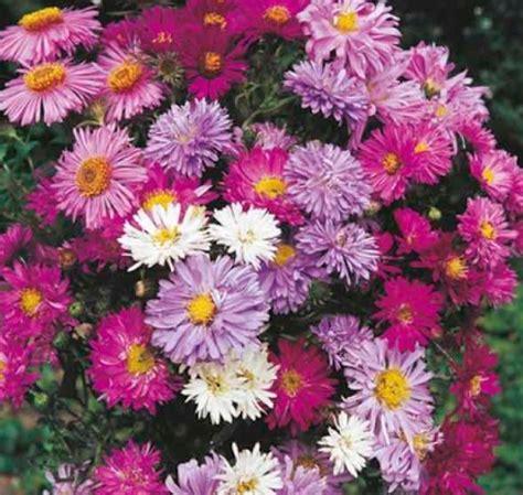 Biji Bunga Aster cara menanam dan merawat bunga aster bibitbunga