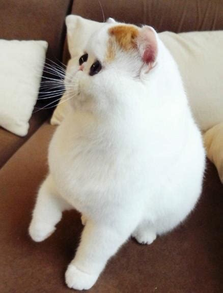 Snoopy exotic shorthair cat   charmingpet
