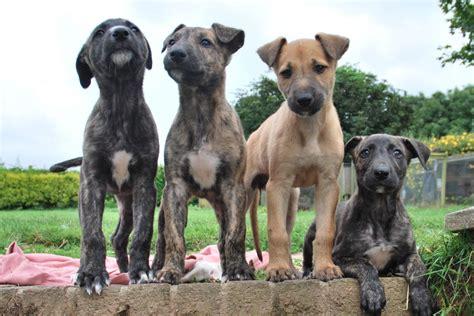 deerhound puppies lurcher puppies deerhound greyhound bullterrier looe cornwall pets4homes