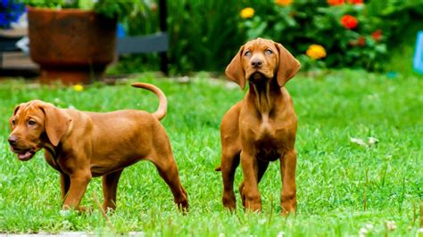 fastest dogs fastest breeds pet care facts