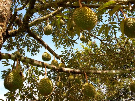 stinky fruit tree on the trail of durian southeast asia s cr 232 me br 251 l 233 e on