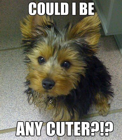 yorkie quotes 79 best yorkie quotes images on cat pets and all alone