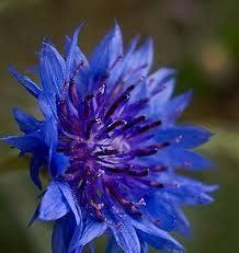 Benih Bunga Mr Fothergills Import Cornflower Blue benih cornflower blue 10 biji non retail
