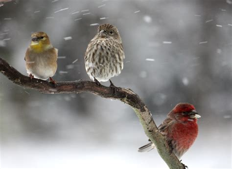 picturespool beautiful birds in winter wallpapers