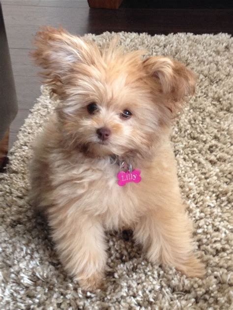 yorkie pomeranian mix hair cuts pomeranian yorkie haircut 1000 ideas about toy pomeranian