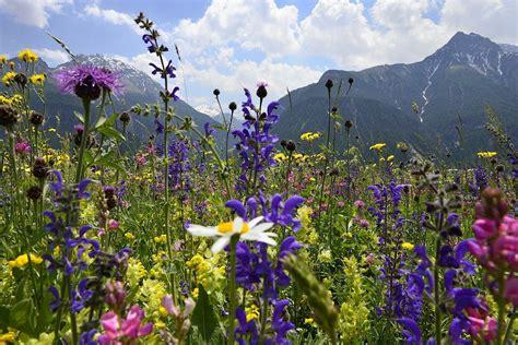 immagini di fiori di montagna foto di fiori di montagna mq22 187 regardsdefemmes