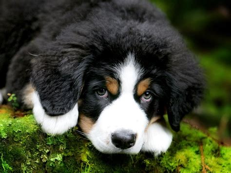 burmese mountain bernese mountain puppy