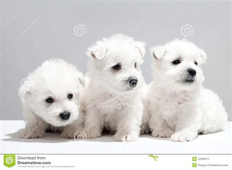 three puppies three white puppies resting together stock image image 12326311