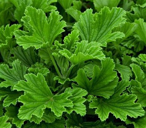 17 best ideas about scented geranium on pinterest geranium flower geranium plant and plants