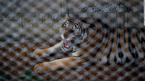 Can I Move To Thailand With A Criminal Record Thailand Tiger Temple Faces Criminal Complaint