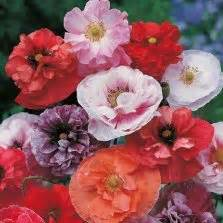 Bibit Benih Bunga American Legion Poppy benih california poppy pink bibitbunga